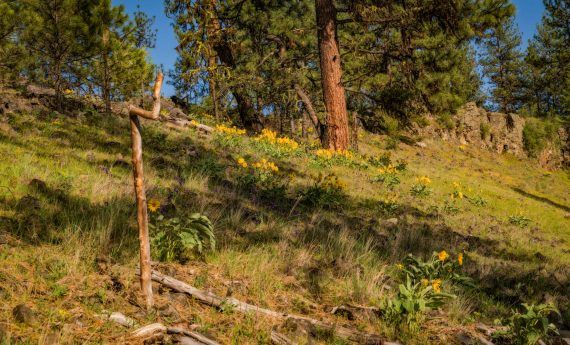 Mule's Ear wildflowers Idaho